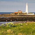 St Marys Lighthouse With Daffodils by David Head