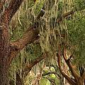 St Simons Island Oaks by Adam Jewell