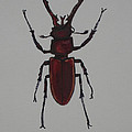 Stag Beetle by Jeffrey Oleniacz
