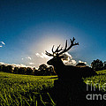 Stag Silhouette by Bailey Cooper