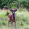 Stag  by Tom Conway