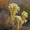 Staghorn Cholla Cactus Catching Sunlight In Joshua Tree Np-ca by Ruth Hager