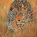 Stalking Leopard by David Stribbling