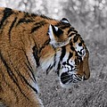 Stalking Tiger by Dan Sproul