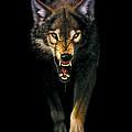 Stalking Wolf by MGL Studio - Chris Hiett