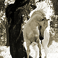 Stallion Dances In Sepia by Carol Walker