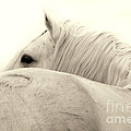 Stallion In Sepia by Sharon Ely