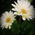 Stand By Me Gerber Daisy by Lingfai Leung
