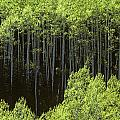 Stand Of Birch Trees New Growth Spring Rich Green Leaves by Jim Corwin