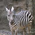 Standalone Zebra by Heather Jane