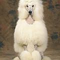 Standard Poodle Dog by John Daniels