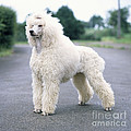 Standard Poodle Dog, Unclipped by John Daniels