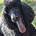 Standard Poodle by Lisa Phillips