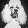 Standard Poodle by ME Browning