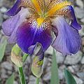 Standing Iris by Greg Boutz