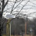 Standing Seagull by Linda Kerkau