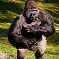 Standing Silverback Gorilla by Nick  Biemans