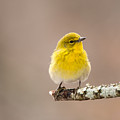 Standing Tall - Pine Warbler by Christy Cox