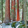 Standing Tall - Sequoia National Park by Sandra Bronstein