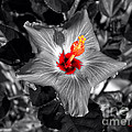Star Bright Hibiscus Selective Coloring Digital Art by Thomas Woolworth