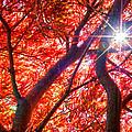 Star Light Thru Maple by Randall Branham