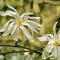 Star Magnolia   by Constantine Gregory