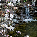 Star Magnolia And Flowing Water by Mick Anderson
