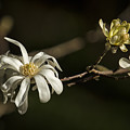 Star Magnolia Blossoms by Belinda Greb