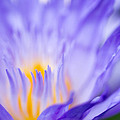 Star Of Siam Waterlily by Priya Ghose