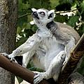 Lemur Stare by Bob Slitzan