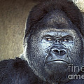 Stare-down - Gorilla Style by Paul W Faust -  Impressions of Light