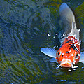 Stare Down With A Koi by Wendy Raatz Photography