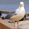 Stare Of A Seagull by Ed Weidman