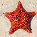 Starfish 4 Of Bottom Harbour Sound by Duane McCullough