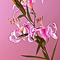 Stargazer Lilies Rectangular Frame by Byron Varvarigos