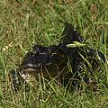 Staring Alligator. Melbourne Shores. by Chris  Kusik