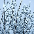 Stark Beauty - Snow On Branches by Denise Beverly
