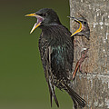 Starling And Young by Anthony Mercieca