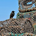 Starling On Lobster Pots by Louise Heusinkveld