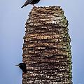 Starlings 2 by Nancy L Marshall
