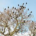 Starlings For Leaves - Sturnus Vulgaris by Mother Nature