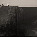 Starlings by Jim Vance