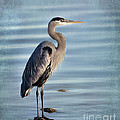 Stately-great Blue Heron by Betty LaRue