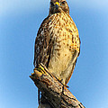 Stately Red-shouldered Hawk by Barbara Bowen