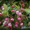 Apple Blossoms During A Rain Shower by Trish H
