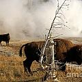 Steaming Bison by Adam Jewell
