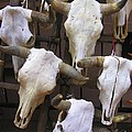 Steer Skulls  - New Mexico by Dora Sofia Caputo Photographic Design and Fine Art