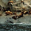 Steller Sea Loins - Resurrection Bay by Harold E McCray
