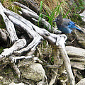 Stellers Jay by Brian Williamson