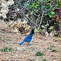 Stellers Jay by Image Takers Photography LLC - Laura Morgan